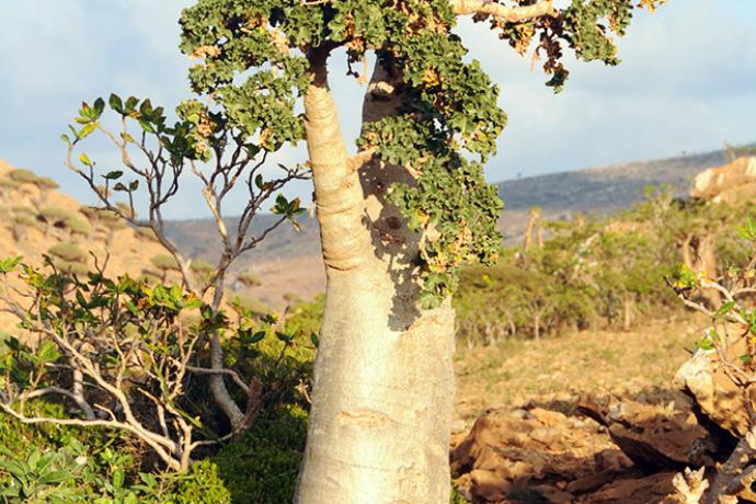 Yemen Socotra Giant Tree