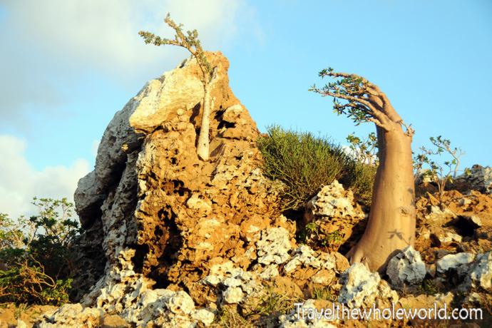 Yemen Socotra Weird Tree