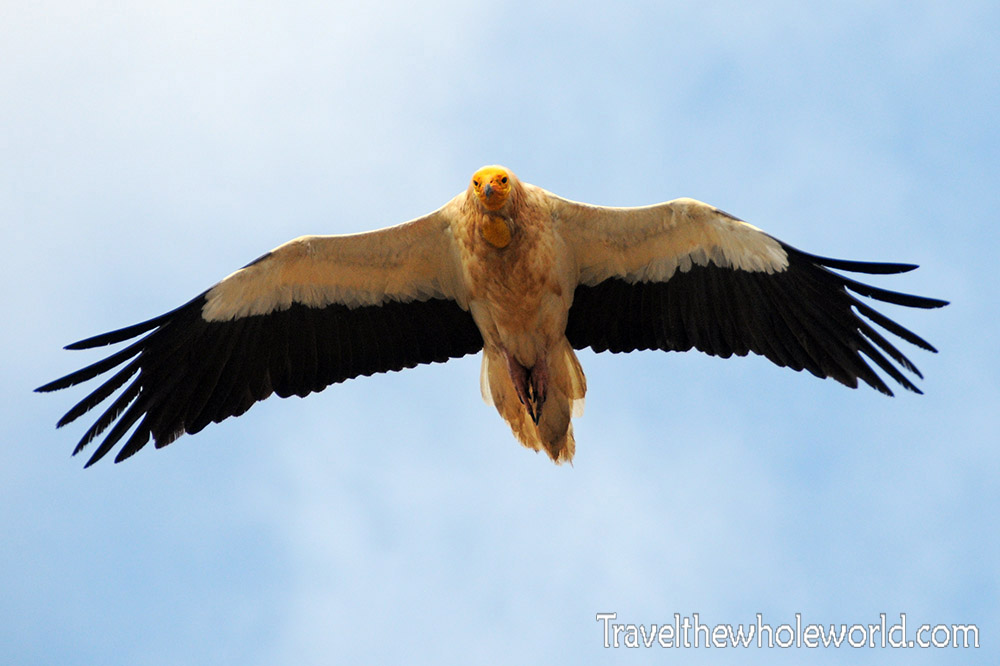 Socotra Egyptian Vulture