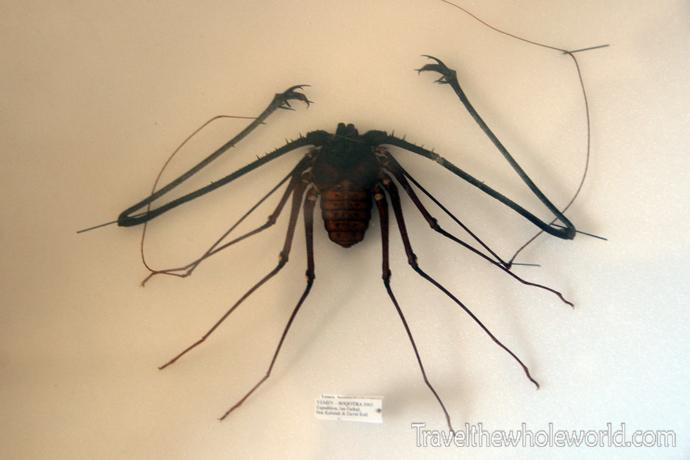 Yemen Socotra Whip Scorpion