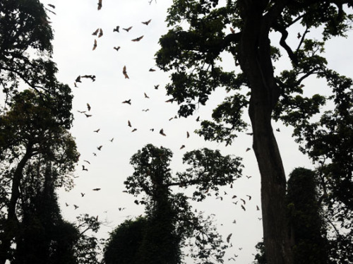 Benin Bats Flying Foxes