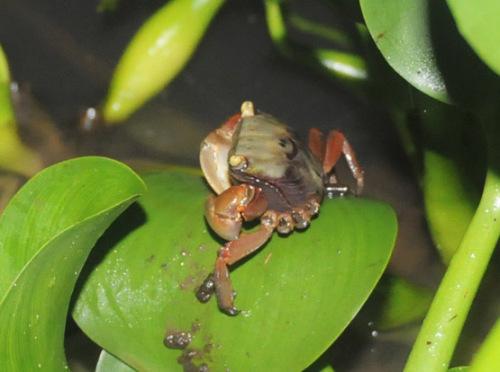 Benin Mangrove Crab
