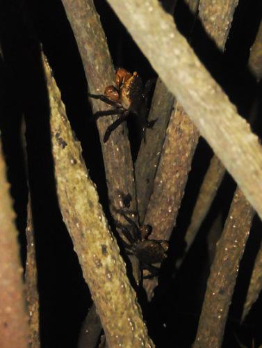 Benin Mangrove Crabs