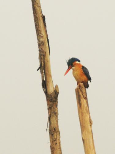 Benin Mangrove Kingfisher