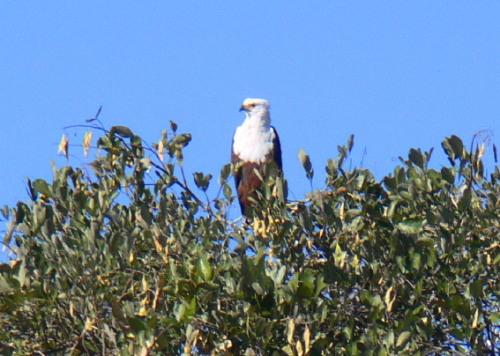 Botswana Okavango Eagle