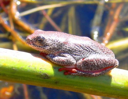 Botswana Okavango Bell Frog