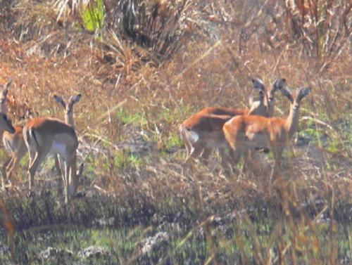 Botswana Okavango Gazelle