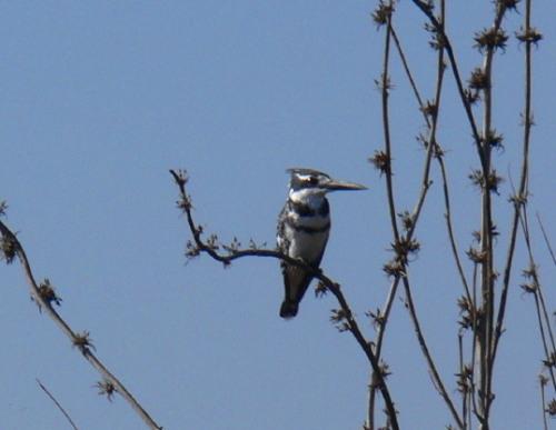 Botswana Okavango Kingfisher