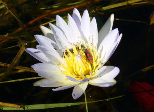 Botswana Okavango Lily