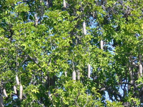 Botswana Okavango Sausage Tree
