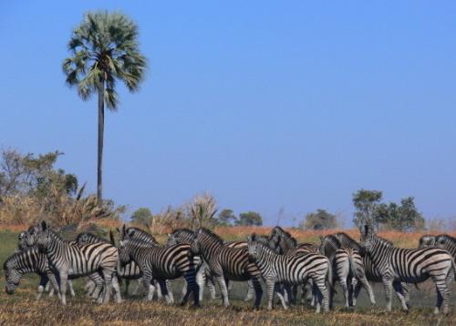 Botswana Okavango Zebras