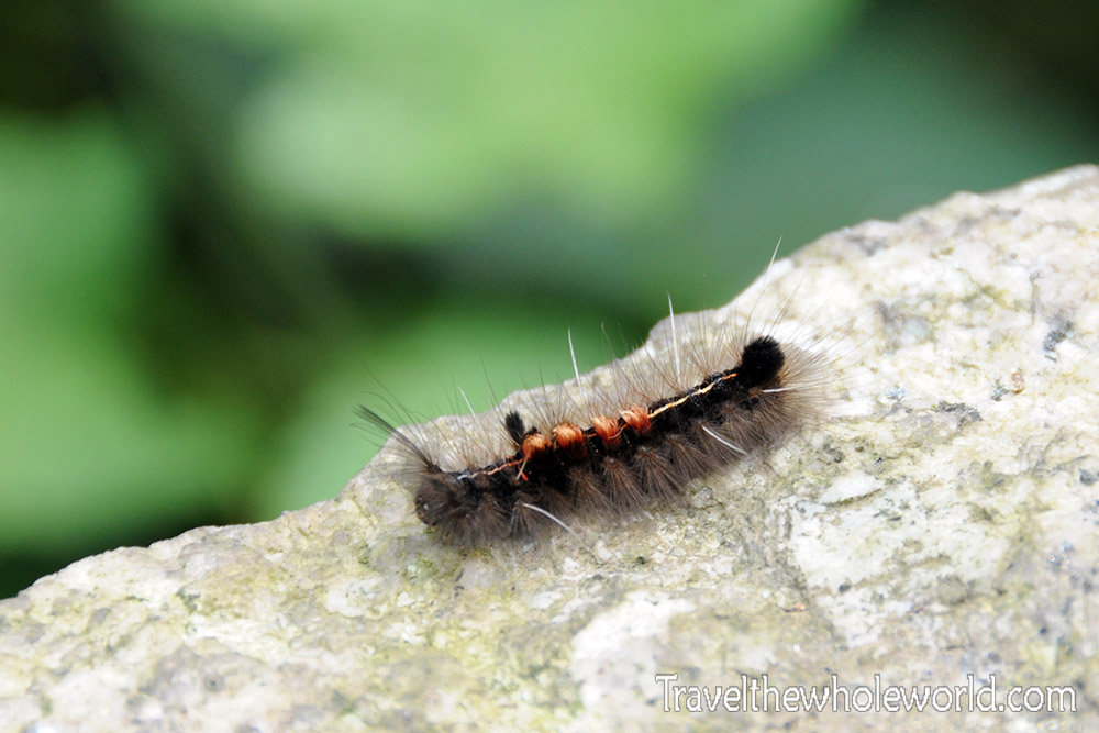 China Bug Caterpiller