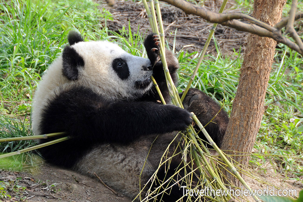 China Wildlife Reserve Panda