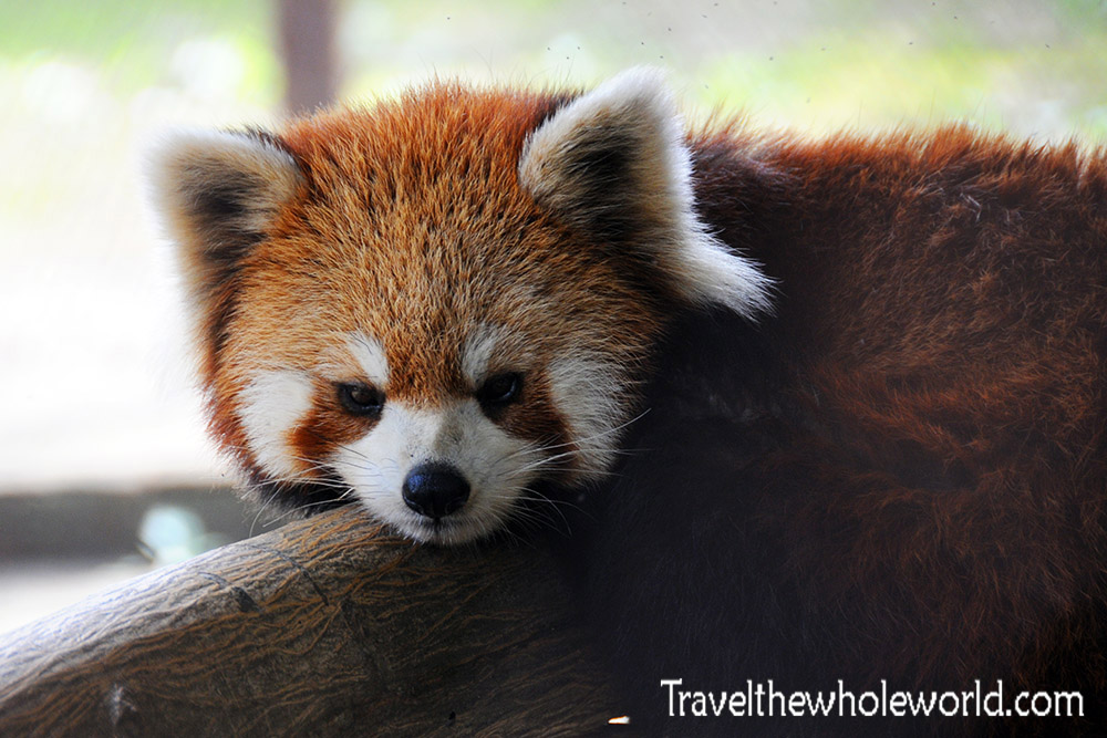 China Wildlife Reserve Red Panda