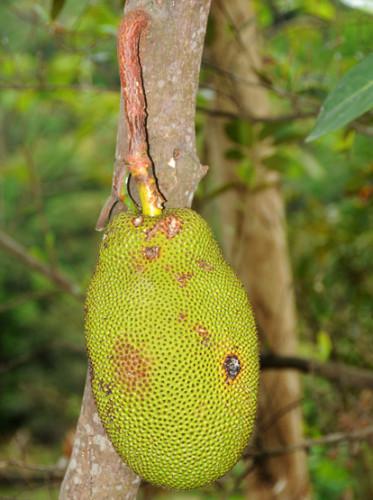 East Timor Dare Fruit