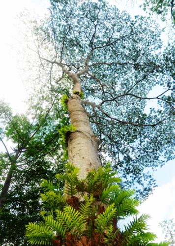 East Timor Giant Tree