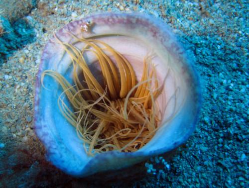 East Timor Scuba Diving Clam