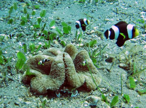 East Timor Diving Clown Fish