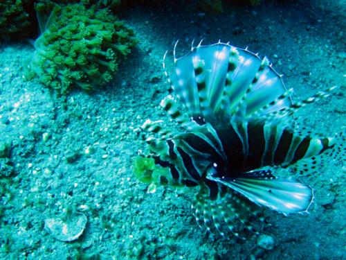 East Timor Scuba Diving Lion Fish