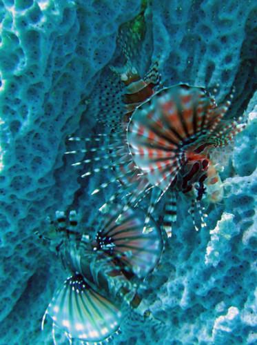 East Timor Scuba Diving Lion Fish Coral