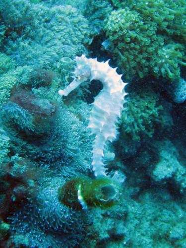 East Timor Scuba Diving Sea Horse