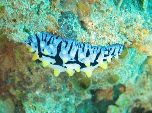 East Timor Scuba Diving Sea Slug