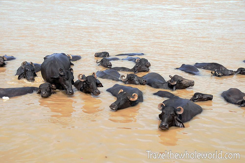 India Varanasi Buffalo