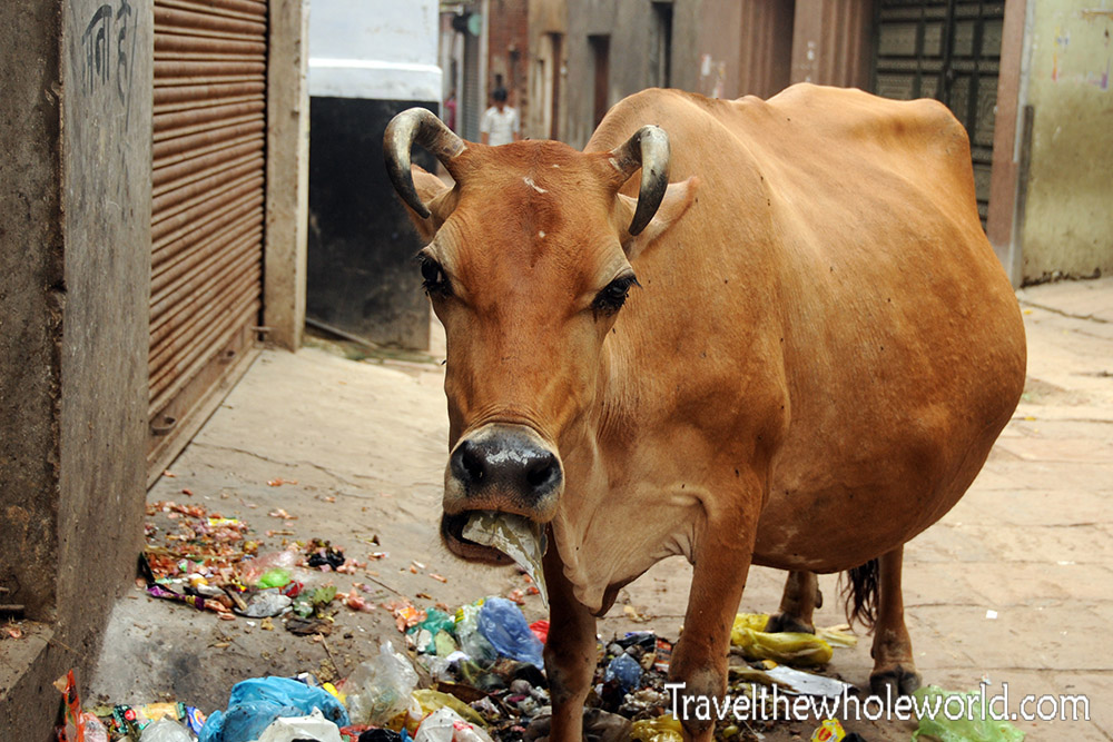 India Varanasi Cow