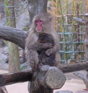 Japan Monkey Cuddle