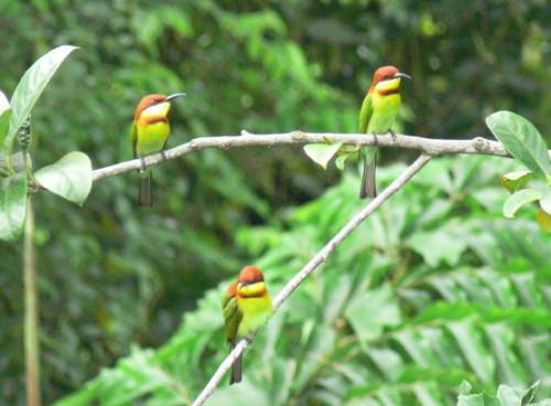 Malaysia Birds