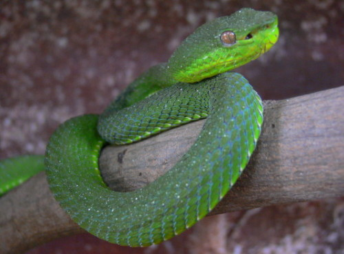 Malaysia Snake Temple Viper