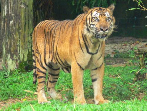 Malaysia Zoo Tiger