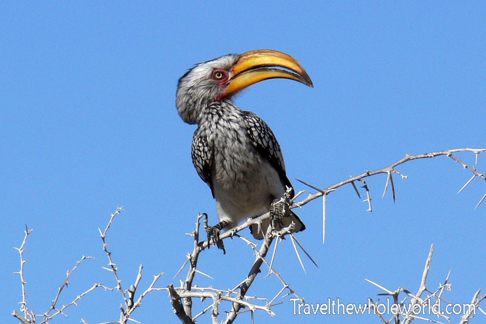 Namibia Etosha Bird Southern Yellow-Billed Hornbill