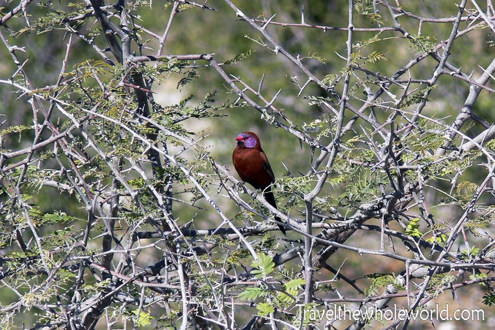 Namibia Etosha Purple Waxbill