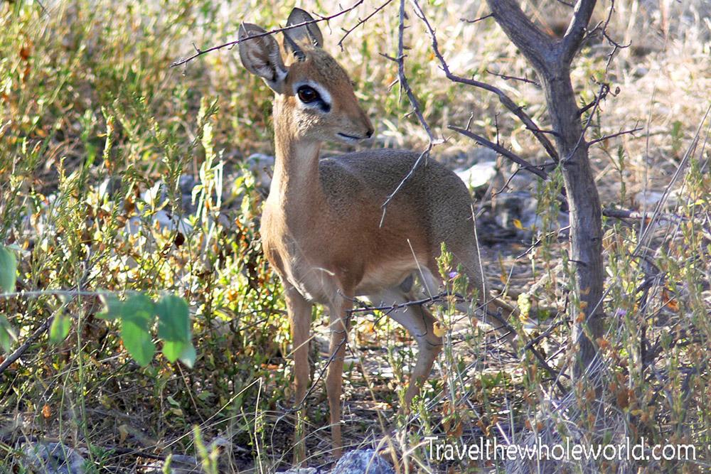 Namibia Etosha Impala Dik Dik