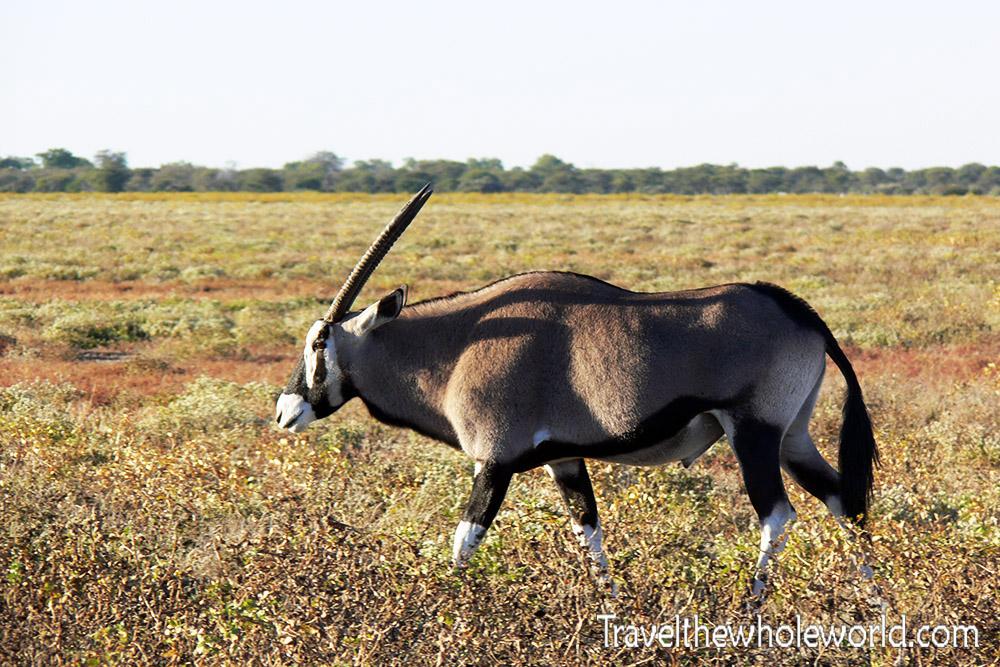 Namibia Etosha Gemsbok