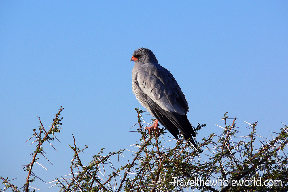 Namibia Etosha Pale Chanting Goshawk