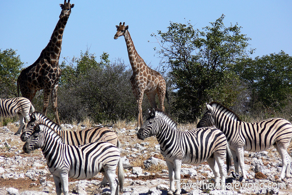 Namibia Etosha Zebra Watch