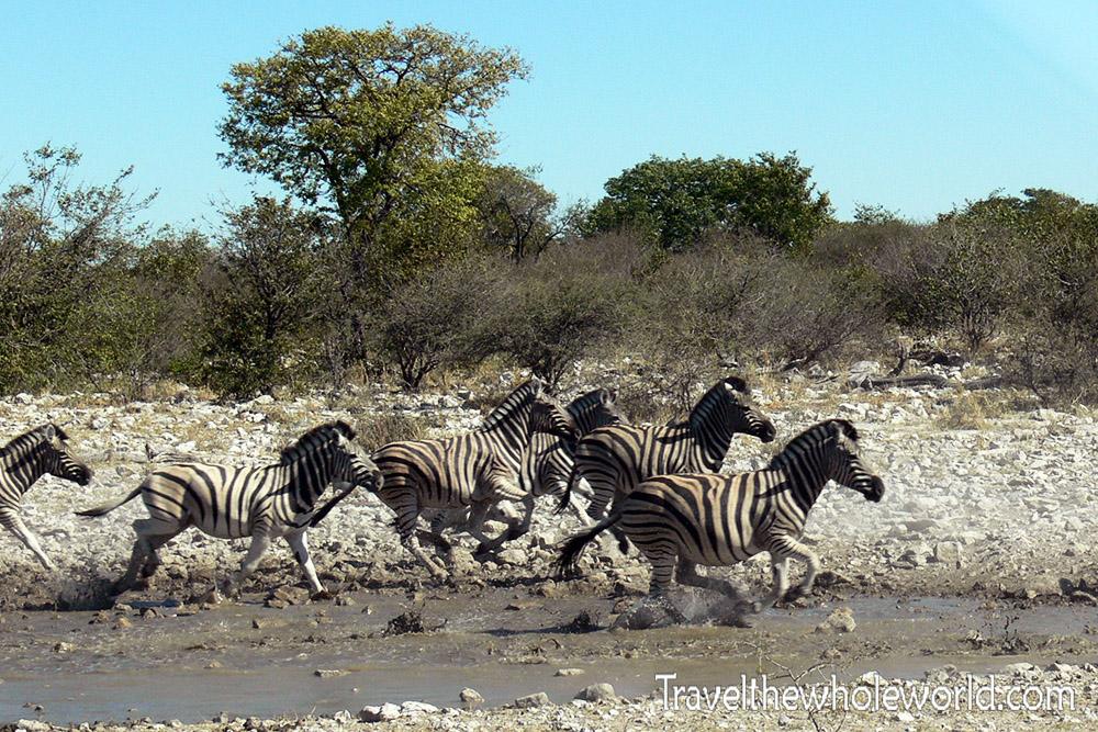 Namibia Etosha Zebra Running