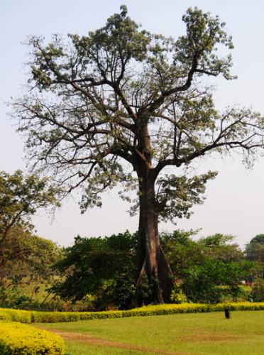 Nigeria Abuja Millenium Park Tree