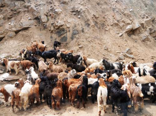 Pakistan Goats