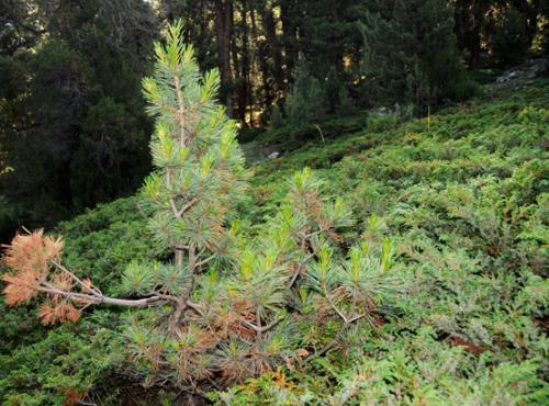 Pakistan Northern Areas Tree Little