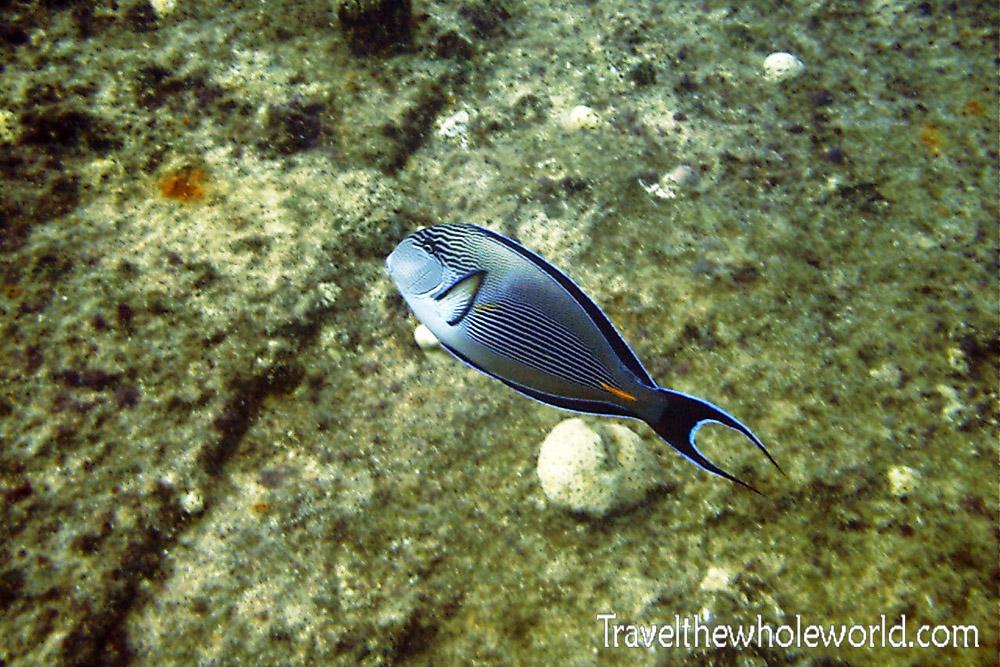 Sudan Red Sea Fish Gray