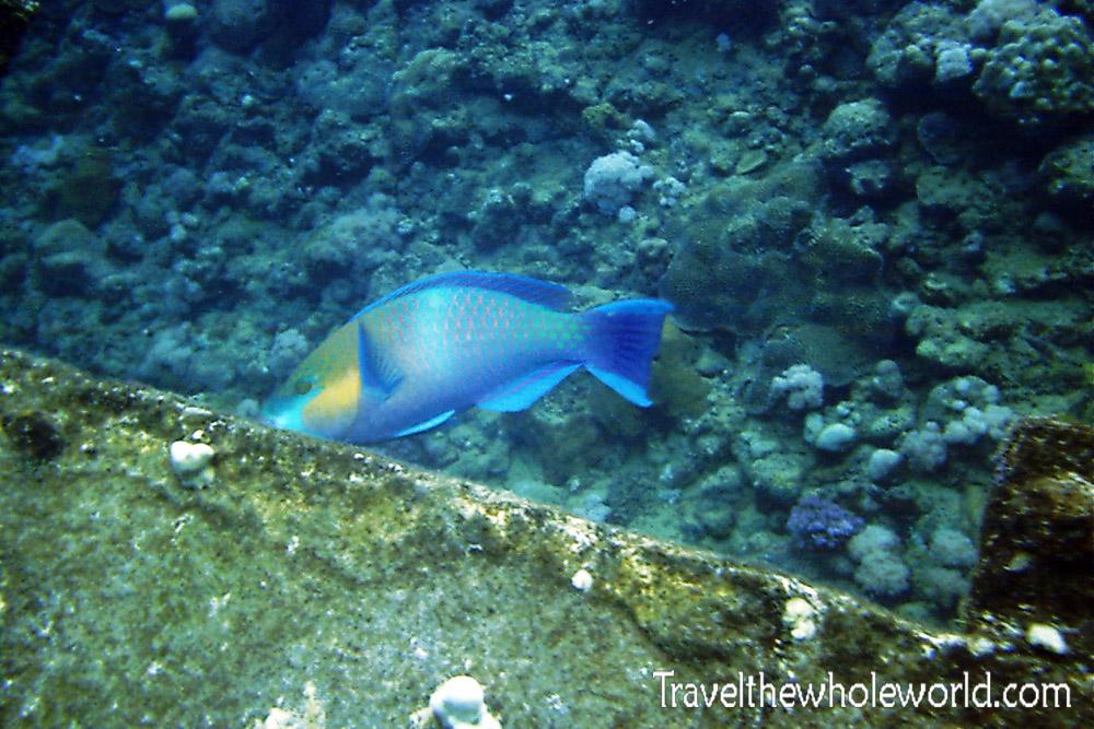 Sudan Red Sea Fish Parrot