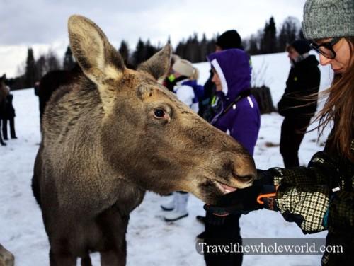 Sweden Moose Farm