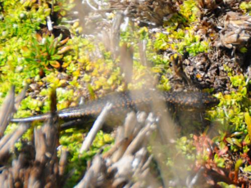 Carstensz Pyramid Meadows Lizard