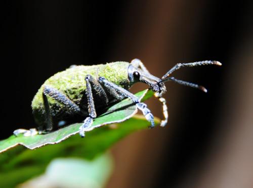 Carstensz Pyramid Rainforest Bug