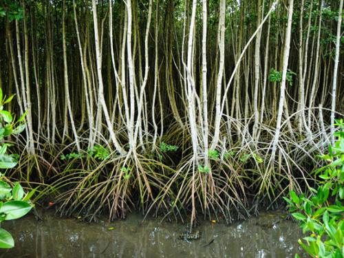 Indonesia Bali Mangrove