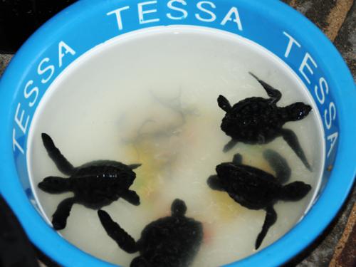 Indonesia Bali Sea Turtles Babies