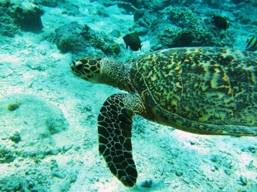 Indonesia-Lombok-Diving-Sea-Turtle